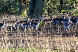 Fallow deer herd  Photo: Mike Alexander
