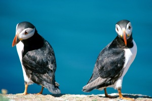 Puffins on Skomer Island, Pembrokeshire       Photo: Mike Alexander