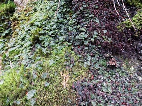 The diminutive filmy ferns