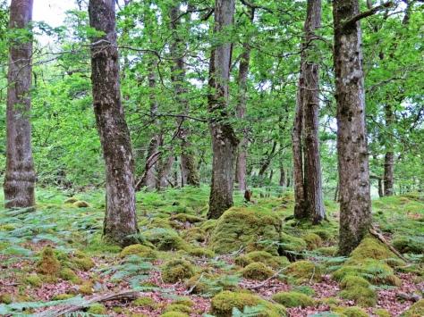 Coed Crafnant woods 1
